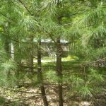 little_white_pines_83691