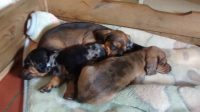AKC registered miniature dachshund pups for sale.